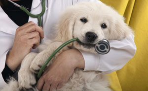 Puppy biting on a stethoscope