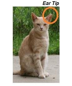 Cat Ear Care